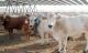Cattle Rustling Menaces Rural LatAm Communities