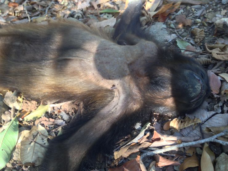 courtesy Paso Pacifico A dead howler monkey found in the woods in southern Nicaragua.